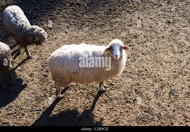 Sheeps in a farm - Stock Image