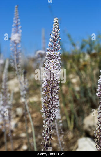 Inflorescence of sea squill - Stock Image