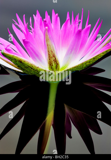Purple tropical water lily and reflection. Hughes Water Gardens, Oregon - Stock Image