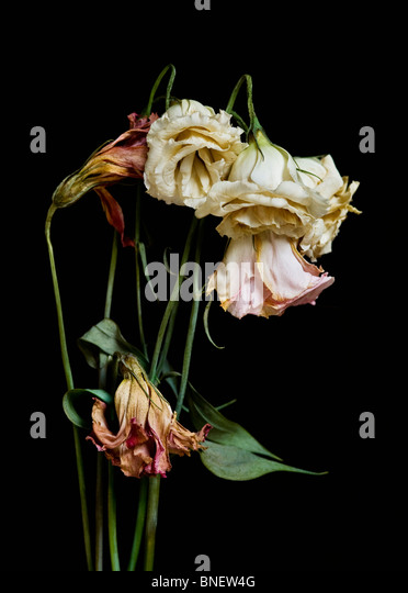 A bouquet of dried dying flowers on a black background. - Stock Image