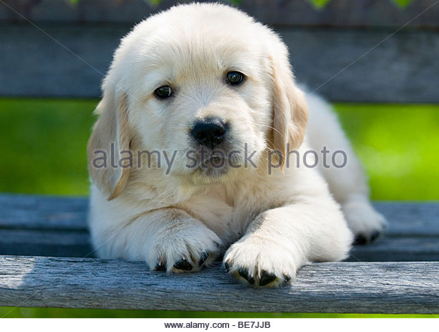 Golden Retriever Puppy - Stock Image