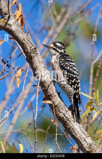 Nuttall's woodpecker Picoides nuttallii San Diego, California, United States 11 September Adult Female Picidae - Stock Image