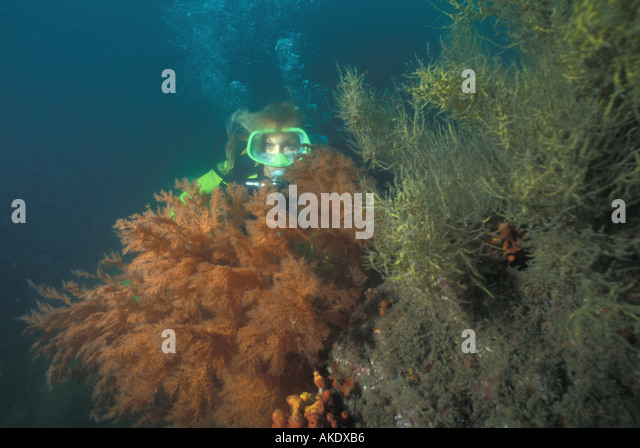 Republic of Panama scuba diver beside coral covered rock caribbean side - Stock Image
