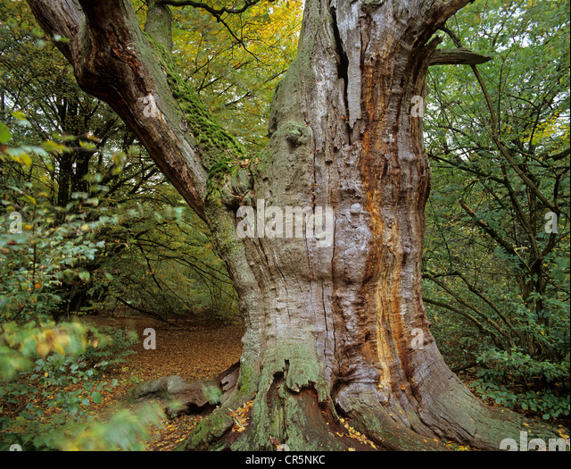 Old oak tree (Quercus sp.), jungle at Sababurg castle, Reinhardswald forest region, Hofgeismar, Lower Saxony, Germany, - Stock Image