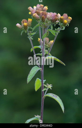 Ploughmans-spikenard (Inula conyzae) flowering Shropshire England UK Europe - Stock Image