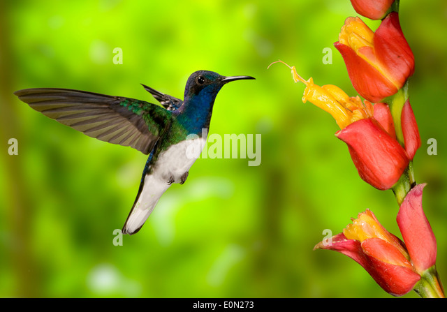 White-necked Jacobin sugarfeeding and nectar-feeding, flying, Costa Rica, Central America (Florisuga mellivora) - Stock-Bilder