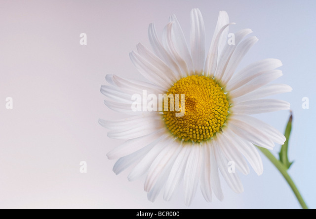 Leucanthemum x superbum, Daisy, Shasta daisy - Stock Image