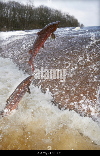 Wild Atlantic Salmon, Salmo salar leaping upstream at the Ettrick water cauld, Philiphaugh, Selkirk, Scotland, UK - Stock-Bilder