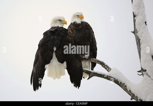 Two eagles ( Haliaeetus leucocephalus ) sit on the dried up tree - Stock-Bilder