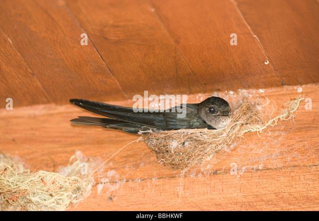 Glossy Swiftlet Collocalia esculenta nesting inside dwelling Cebu Philippines - Stock Image