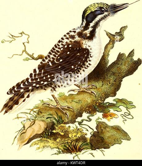 Color engraving of the Northern Three Towed Woodpecker (Picus Tridactylus) in its natural habitat, from The Natural - Stock Image