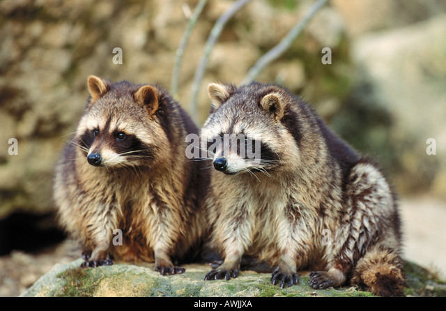 two common raccoons / Procyon lotor - Stock Image