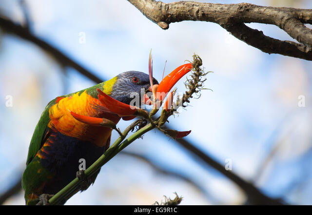 Wild Rainbow lorikeet feeding in Sydney Botanical Gardens - Stock Image