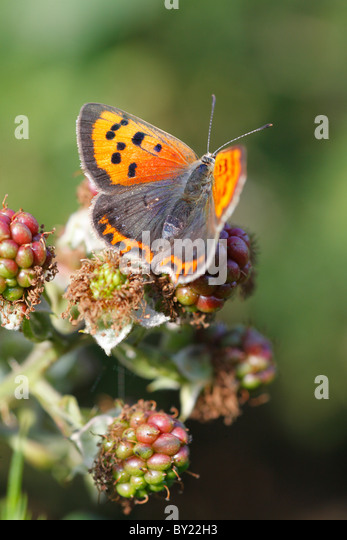 Small Copper butterfly (Lycaena phlaeas) basking on un-ripe blkackberries. Powys, Wales. - Stock Image