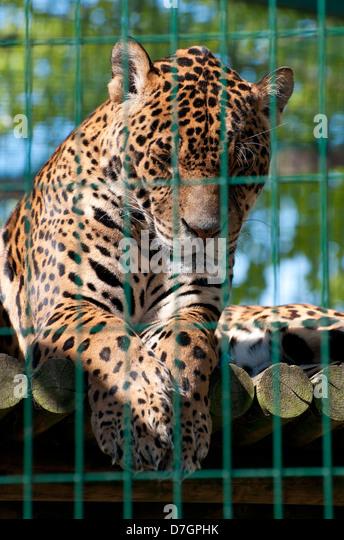 captive jaguar in zoo cage, norfolk, england - Stock Image