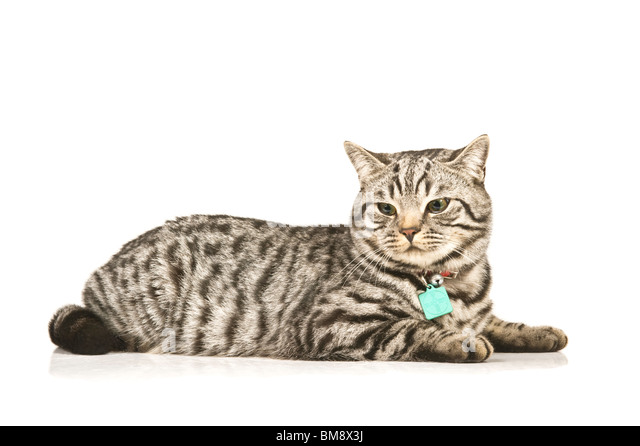 Portrait of a male British shorthair silver tabby cat lying down against a pure white (255) background. - Stock Image