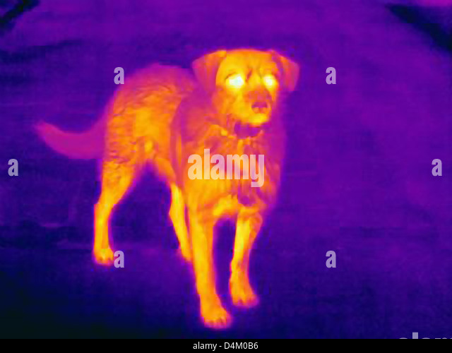 Thermal image of dog on city street - Stock Image