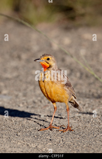 Orange-throated longclaw (Cape longclaw) (Macronyx capensis), Mountain Zebra National Park, South Africa, Africa - Stock Image