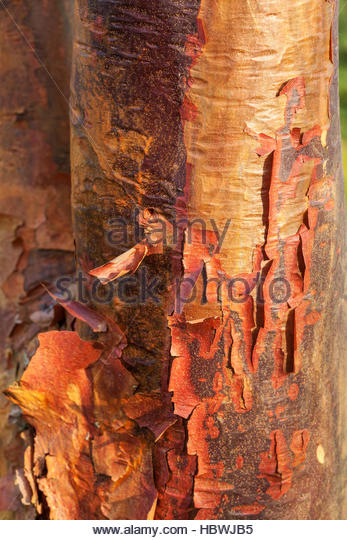 Acer griseum - Paperbark Maple – peeling tree bark - Stock Image