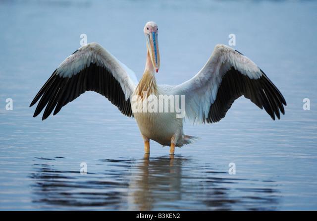 Eastern White Pelican Pelecanus onocrotalus adult Lake Nakuru Kenya Africa - Stock Image