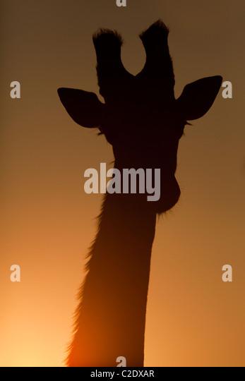 Giraffe (Giraffa Camelopardalis). Silhouette, front profile. - Stock Image