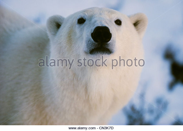 Polar bear, Churchill, Manitoba, Canada - Stock Image