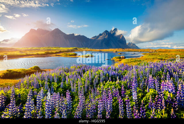 Blooming lupine flowers on the Stokksnes headland on the southeastern Icelandic coast. Iceland, Europe. - Stock Image