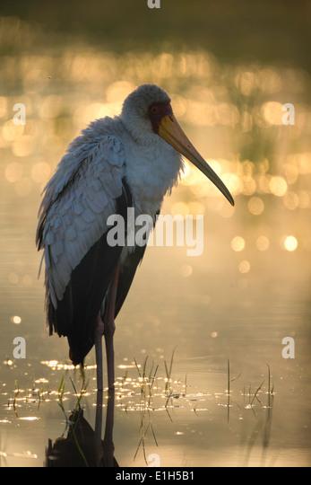 Portrait of Yellowbilled Stork searching for food, Lake Nakuru National Park, Kenya, Africa - Stock Image