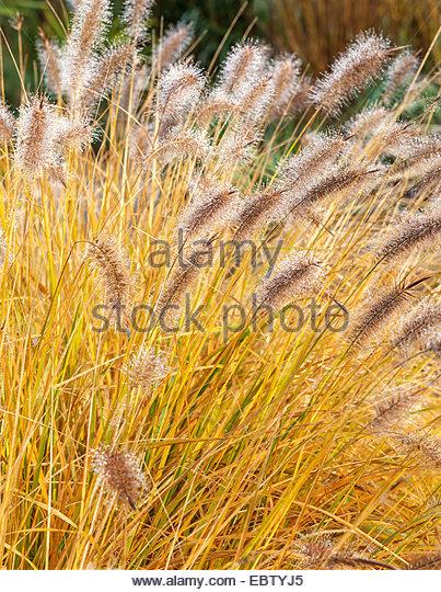 Ornamental grasses border grasses stock photos for Red ornamental grasses perennial