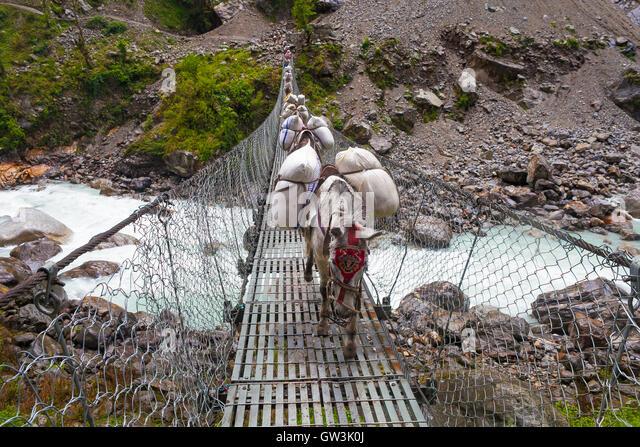 Caravan Animal Donkeys Loaded Bags Crossing Cable Bridge. Trekking Landscape View Background. Fast Mountain River - Stock Image