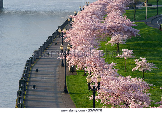 High angle view of Cherry Blossom tree in park, Tom McCall Waterfront Park, Portland, Oregon, USA - Stock Image