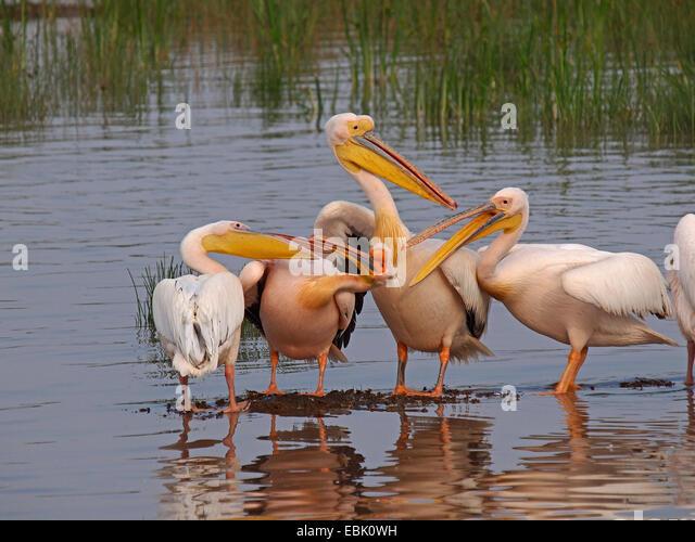 eastern white pelican (Pelecanus onocrotalus), pelicans standing in shallow water, Kenya, Lake Nakuru National Park - Stock Image