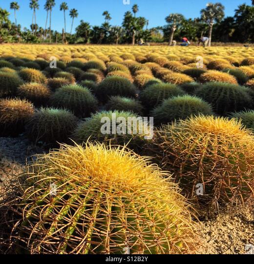 Field of cactuses. Wirikuta Garden, Los Cabos, Mexico - Stock Image