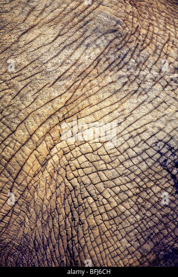 Elephant hide, close-up, South Africa. - Stock Image