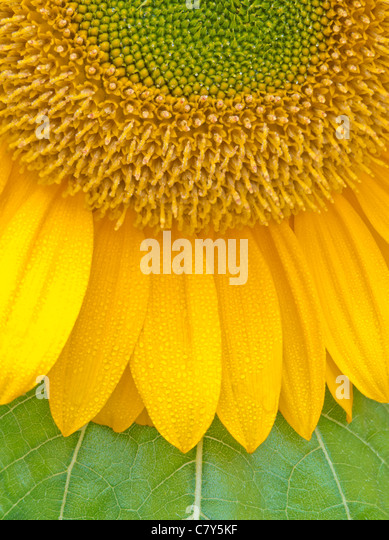 Sunflower - Stock Image