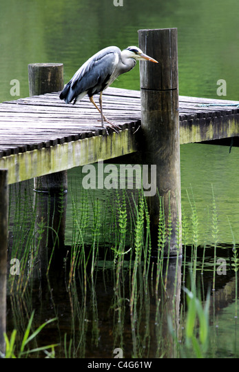 Great Blue Heron - Stock-Bilder
