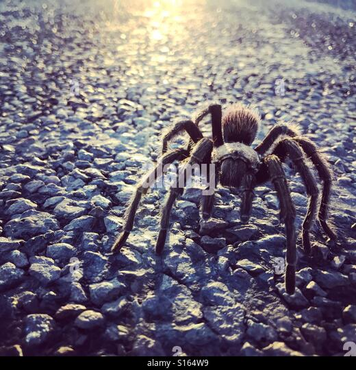 Tarantula - Stock-Bilder