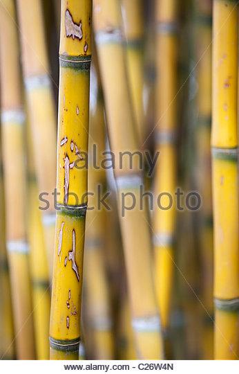 Bamboo, Chusquea culeou - Stock Image