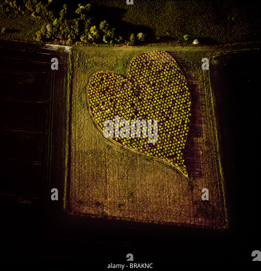 Aerial image of heart shape orchard, near Huish Hill earthwork, Oare, Wiltshire, England, United Kingdom, Europe - Stock Image