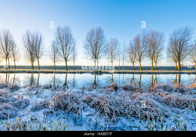 Willingham, Cambridgeshire, UK. 29th November 2016. A line willow trees grown to make cricket bats are reflected - Stock Image