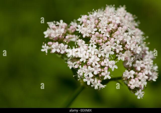 inflorescence of valerian (Valeriana officinalis) on green background - Stock Image