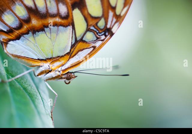 Siproeta stelenes . Malachite butterfly - Stock Image