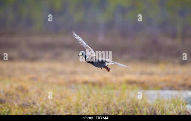 Male Mallard, Anas platyrhynchos, flying - Stock Image