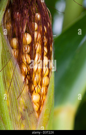 Sweetcorn or maize in close up ripening on the plant - Stock Image
