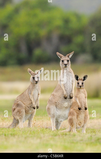 Eastern Grey (Forester) Kangaroo Macropus giganteus Family group Photographed Tasmania, Australia - Stock Image