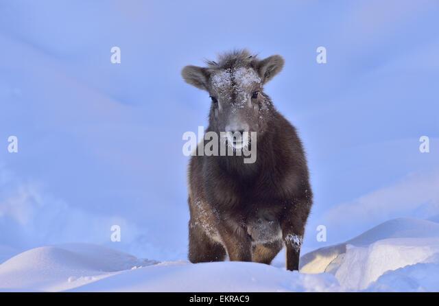 A baby bighorn sheep walking through the deep winter snow in evening light - Stock-Bilder