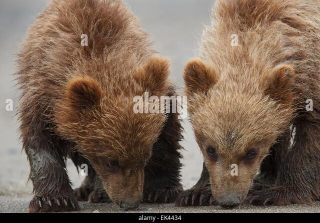 Brown / Grizzly Bear, Lake Clark National Park, Alaska - Stock Image