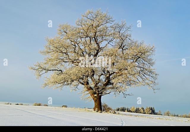 Oak tree with hoar frost, near Villingen-Schwenningen, Schwarzwald-Baar, Baden-Wurttemberg, Germany, Europe - Stock Image