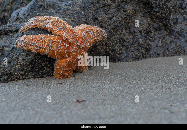 Orange Sea Star with Copy Space Over Sand to right - Stock Image