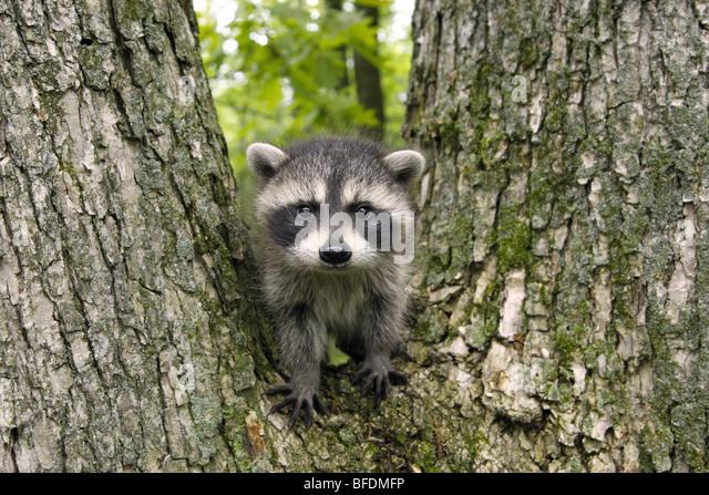Raccoon baby - Stock-Bilder